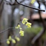とさみずき(土佐水木)Corylopsis spicata_0_6