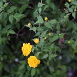 やえやまぶき(八重山吹)Kerria japonica cv. Plena_0 (3)