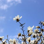 こぶし((辛夷 )Magnolia kobus_4
