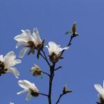 こぶし((辛夷 )Magnolia kobus_6