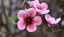 ぎょりゅうばい(檉柳梅)Leptospermum scoparium_1