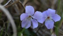 たちつぼすみれ (立壺菫)Viola grypoceras_2