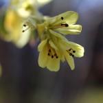 とさみずき(土佐水木)Corylopsis spicata_0_4