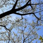 おおしまざくら(大島桜)Cerasus speciosa_0 (6)