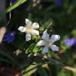 きいちご(木苺)Rubus palmatusvar. coptophyllus_3