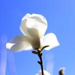 はくもくれん((白木蓮)Magnolia heptapera_6