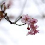 かわずざくら(河津桜 )_0 (5)