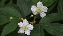 かじいちご(.構苺)Rubus trifidus_2