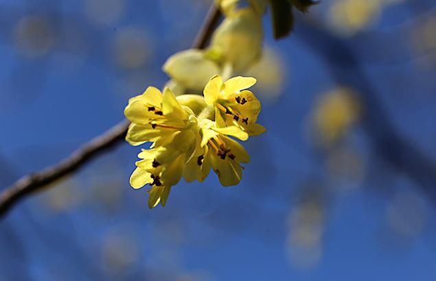 とさみずき(土佐水木)Corylopsis spicata_0_1