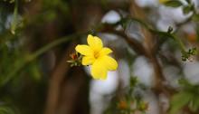 おうばい((黄梅)Jasminum nudiflorum_2