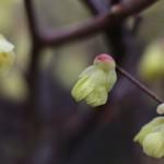 ひゅうがみずき(日向水木)Corylopsis pauciflora_9
