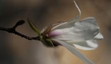 こぶし((辛夷 )Magnolia kobus_13