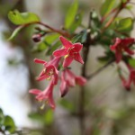 うぐいすかぐら〈ピンク〉(鶯神楽)Lonicera gracilipes_11