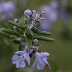 ローズマリーRosmarinus officinalis_0_1