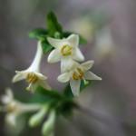 うぐいすかぐら〈白〉(鶯神楽)Lonicera gracilipes_1
