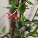 うぐいすかぐら〈ピンク〉(鶯神楽)Lonicera gracilipes_10