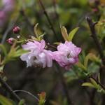 にわざくら(庭桜)Prunus glandulosa cv.Alboplena_0 (3)