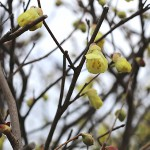 ひゅうがみずき(日向水木)Corylopsis pauciflora_2