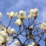 はくもくれん((白木蓮)Magnolia heptapera_12