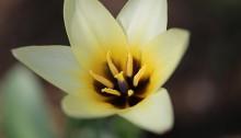 チューリップトルケスタニカ Tulipa turkestanica _2