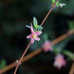 うぐいすかぐら〈ピンク〉(鶯神楽)Lonicera gracilipes_3