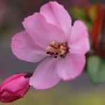 はなかいどう(花海棠)Malus halliana_4