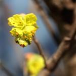 しなみずき(支那水木)Corylopsis sinensis_3