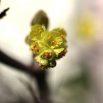 しなみずき(支那水木)Corylopsis sinensis_4