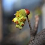 しなみずき(支那水木)Corylopsis sinensis_5