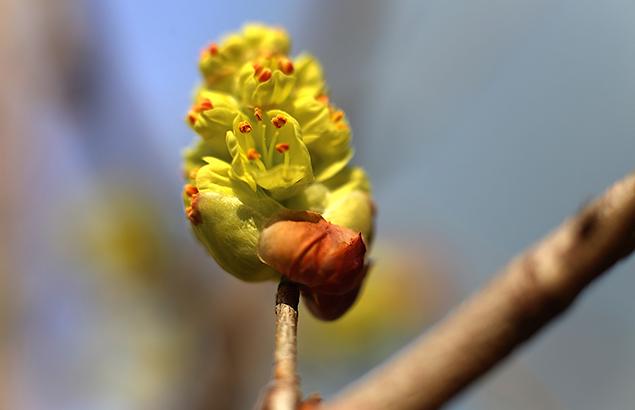 しなみずき(支那水木)Corylopsis sinensis_6