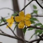 やまぶき(山吹)Kerria japonica_0_1