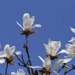 こぶし((辛夷 )Magnolia kobus_11