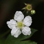 かじいちご(.構苺)Rubus trifidus_1