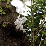 そめいよしの(染井吉野)Cerasus × yedoensis_a (5)