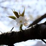 おおしまざくら(大島桜)Cerasus speciosa_0 (8)