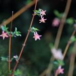 うぐいすかぐら〈ピンク〉(鶯神楽)Lonicera gracilipes_6