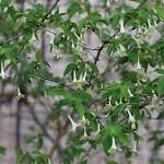 うぐいすかぐら〈白〉(鶯神楽)Lonicera gracilipes_6
