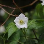 かじいちご(.構苺)Rubus trifidus_6