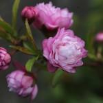 にわざくら(庭桜)Prunus glandulosa cv.Alboplena_0 (1)