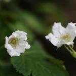 かじいちご(.構苺)Rubus trifidus_8