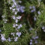 ローズマリーRosmarinus officinalis_0_6