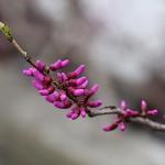 はなずおう(花蘇芳)Cercis chinensis_0 (3)