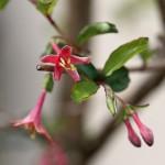 うぐいすかぐら〈ピンク〉(鶯神楽)Lonicera gracilipes_9