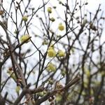 ひゅうがみずき(日向水木)Corylopsis pauciflora_6