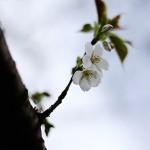 おおしまざくら(大島桜)Cerasus speciosa_0 (1)