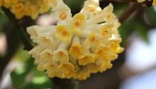 みつまた(三椏)Edgeworthia chrysantha_5