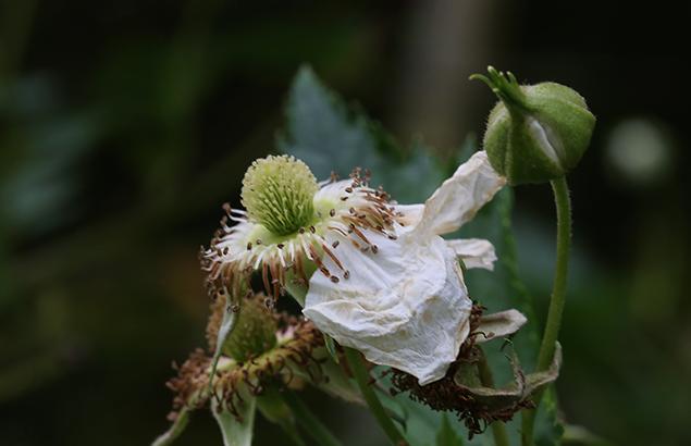 かじいちご(.構苺)Rubus trifidus_4