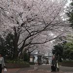 そめいよしの(染井吉野)Cerasus × yedoensis_a