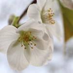 おおしまざくら(大島桜)Cerasus speciosa_0 (2)
