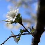 おおしまざくら(大島桜)Cerasus speciosa_0 (7)